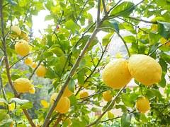 lemon-1117565__180